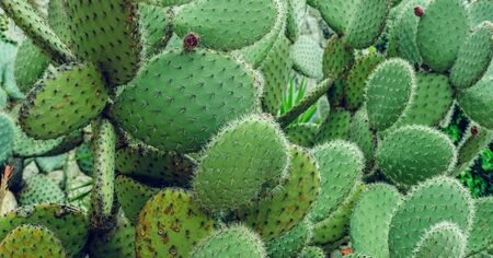 cactus, prickly pear cactus ,cactus spines, close up background
