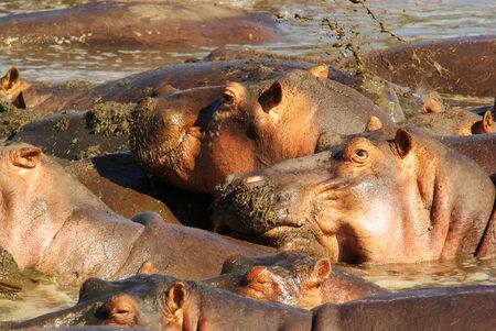 herbivore natural: Hippos