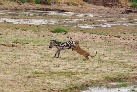 ライオンがシマウマを狩る 写真素材 - 61376437