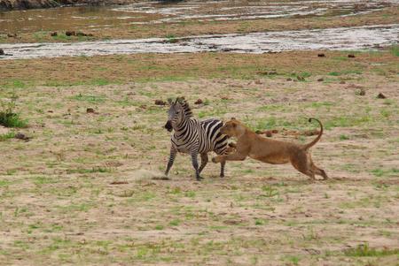 охота лев Фото со стока