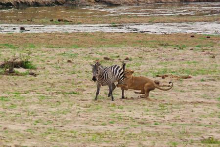 Lion catching a zebra