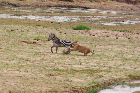 ライオンがシマウマを狩る 写真素材 - 61376340