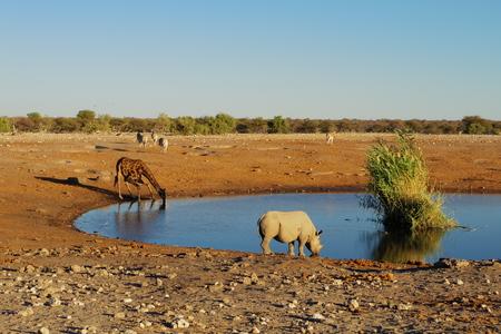 pozo de agua: Rhino y beber jirafa