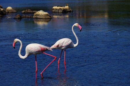 Flamingos in a pond in Sardinia, near Olbia.