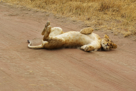 Wild animals of Africa in their environment: Lion acting as a kitten