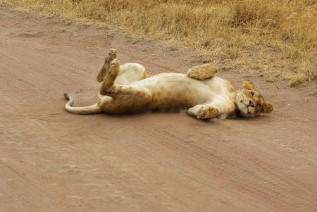 Los animales salvajes de África en su entorno: León que actúa como un gatito