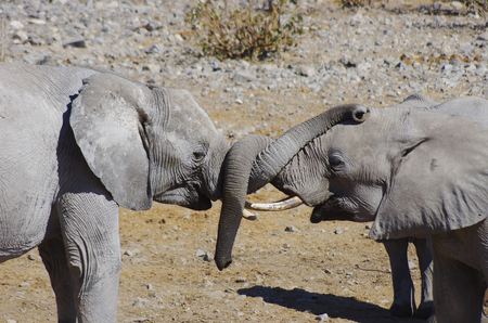 Wild animals of Africa in their environment: two young elephants playing with their trunks