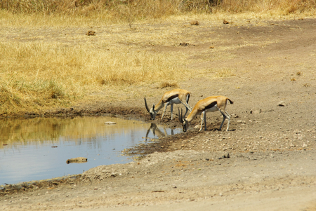 tanzania antelope: Wild animals of Africa in their environment: Gazelles