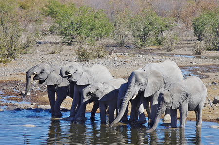 Wild animals of Africa in their environment: group of Elephants