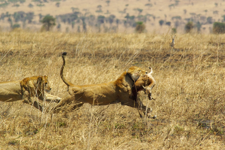 Wild animals of Africa in their environment: Lion running with prey in mouth
