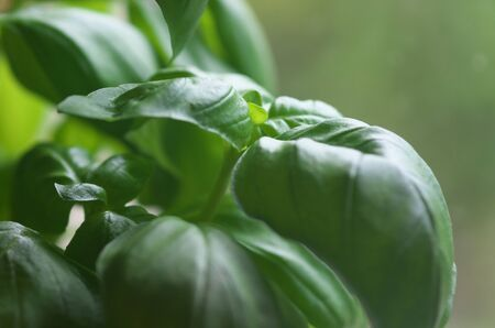 spicey: Basil leaves on green background