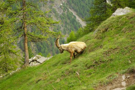 sella: Steinbocks (Capra Ibex) on the trail to Refuge Sella, in the Gran Paradiso National Park. Stock Photo