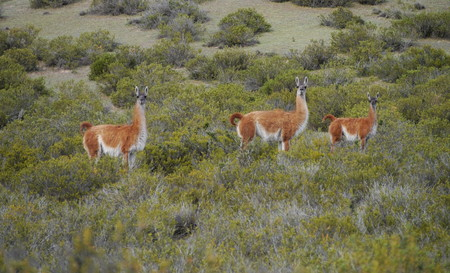 Group of Guanacos on a hill in the inland of Peninsula Valdez, Patagonia Argentina