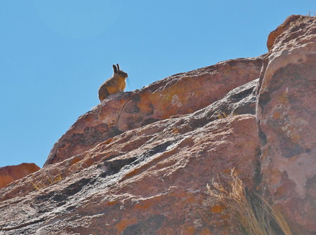 Viscacha, typical mammal of the Andes. Andean altiplano of Bolivia, South America 写真素材