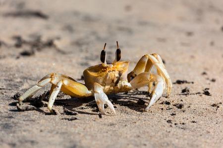 reversing: Cute crab with big eyes on the sand. Sri Lanka. Stock Photo