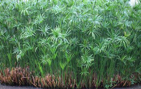 papyrus green plant on glasses 版權商用圖片 - 11199235