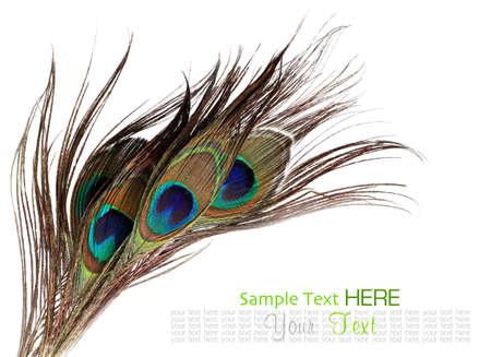 pluma de pavo real: Plumas del pavo real en el fondo blanco