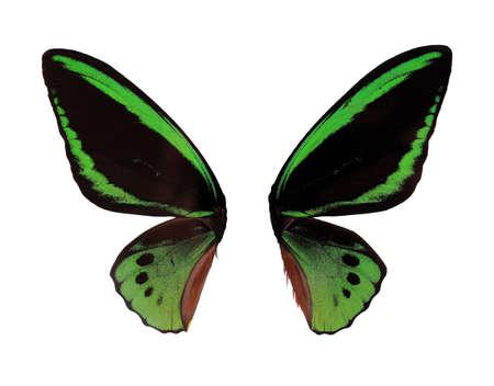mariposa verde: Wings Ornitoptera priamus mariposa verde sobre fondo blanco Foto de archivo