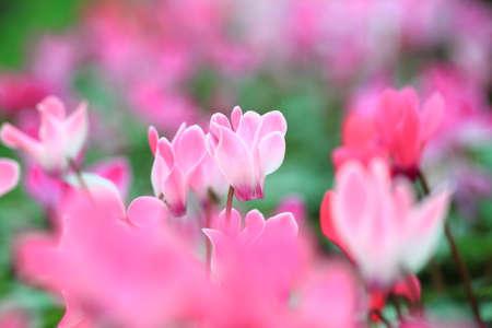 sowbread: Wild cyclamens  Cyclamen hederifolium close up  Stock Photo