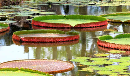 Giant leaves of the Victoria waterlily in the pond  photo