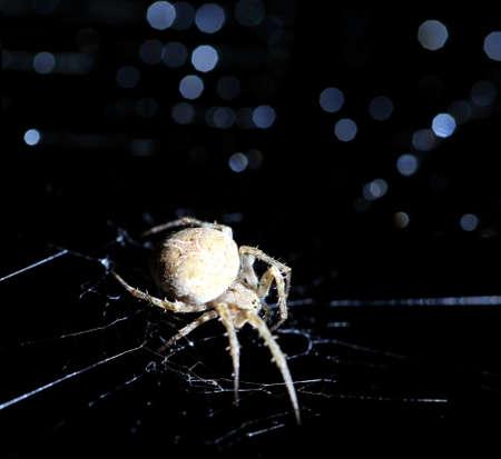 segmentata: Closeup of a cross spider in its web