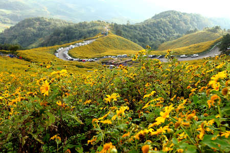 tong: road in Sunflower field in November of each year at Doi Mae U neck. Mae Hong Son Province, Thailand Stock Photo