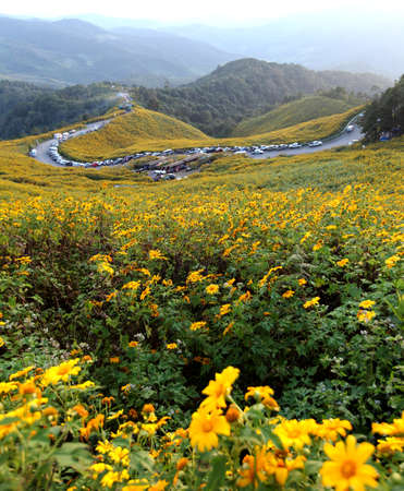 each year: road in Sunflower field in November of each year at Doi Mae U neck. Mae Hong Son Province, Thailand Stock Photo