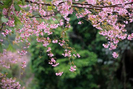 lao: Lao sakura dans la saison d'hiver