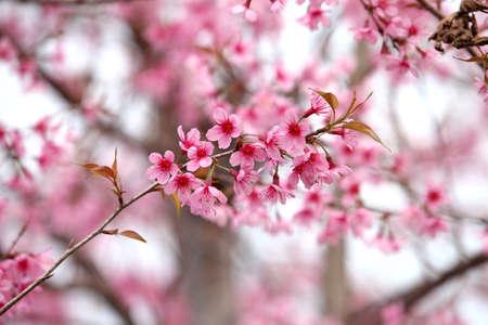 pith: Lao sakura in winter season