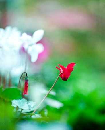 sowbread: Scarlet Cyclamen blooming in the garden