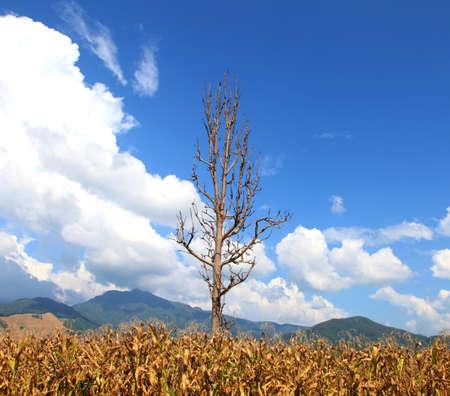 latitude: High latitude dead tree under blue sky. Stock Photo