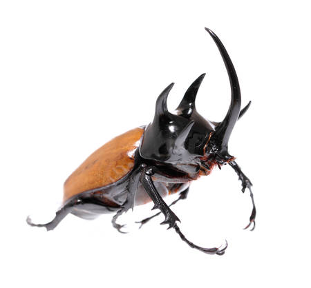 Golden five horned rhino beetle on a white background. 版權商用圖片