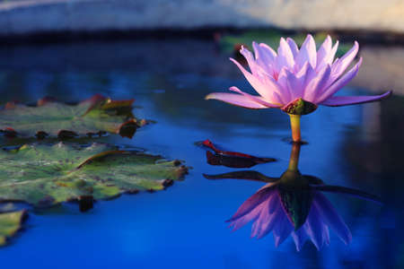 Beauty water lilly flower.Pink Lotus. Banque d'images