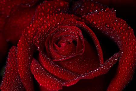 Red Roses design. flowers. 版權商用圖片