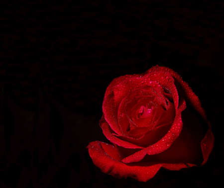roses petals: Red Rose on black background.