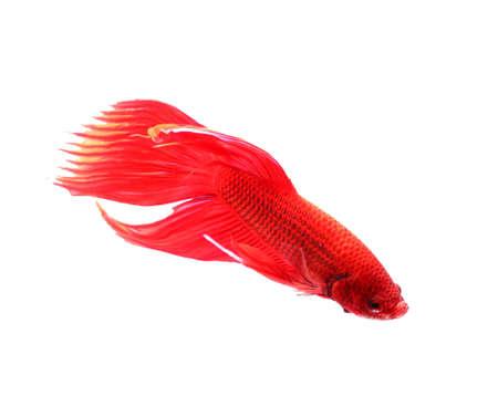 half moon tail: siamese fighting fish, betta splendens isolated on white background Stock Photo
