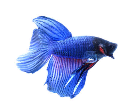 half moon tail: siamese fighting fish , betta isolated on white background Stock Photo