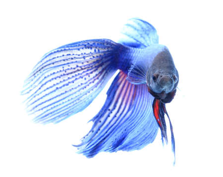 pez pecera: pescados que luchan siameses, betta aisladas sobre fondo blanco.