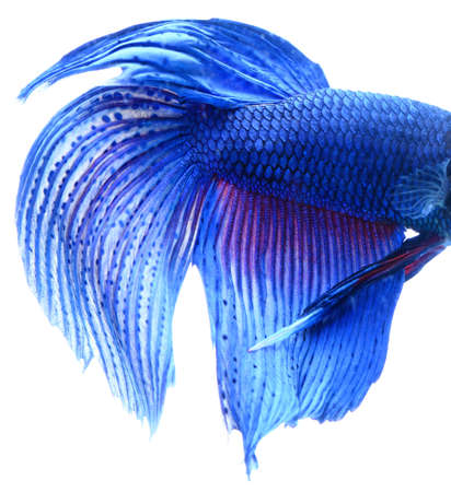 sealife: Macro of Blue Siamese fighting fish, Betta Splendens isolated on white background. Stock Photo