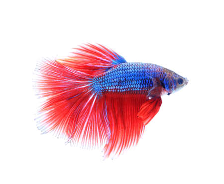 fire fin fighting: siamese fighting fish , betta isolated on white background. Stock Photo