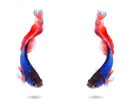 fire fin fighting: couple siamese fighting fish , betta isolated on white background. Stock Photo