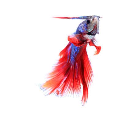 siamese fighting fish , betta isolated on white background. 版權商用圖片