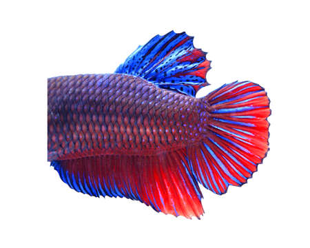 blue siamese: Close-up on a fish skin -Red and blue Siamese fighting fish - Betta Splendens in front of a white background. Stock Photo