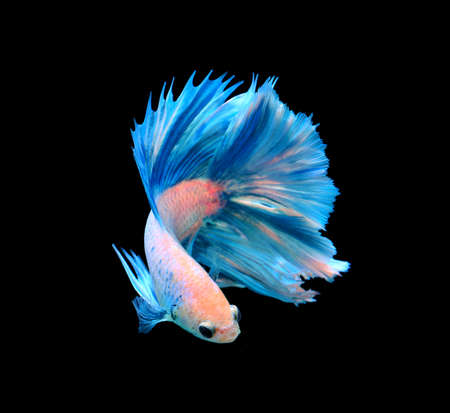 White and blue siamese fighting fish, betta fish isolated on black background.