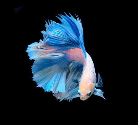 siamese: White and blue siamese fighting fish, betta fish isolated on black background.