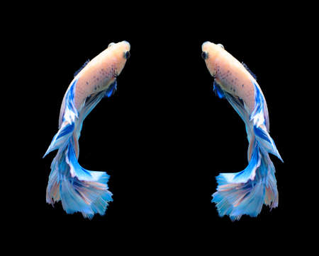 blue siamese: White and blue siamese fighting fish, betta fish isolated on black background.