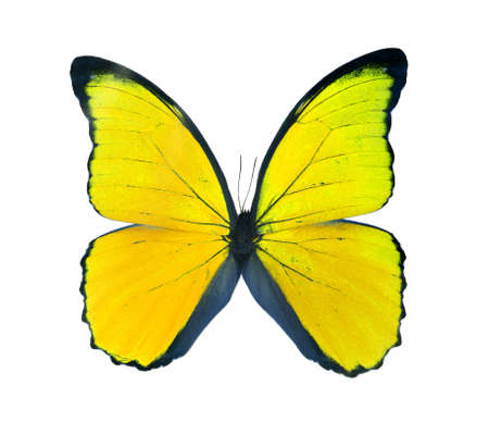 Morpho butterfly (Morpho didius), a yellow butterfly from South America on white background.