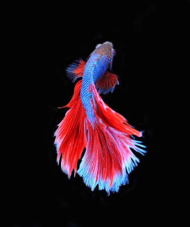 crown tail: Red and blue siamese fighting fish, betta fish isolated on black background.