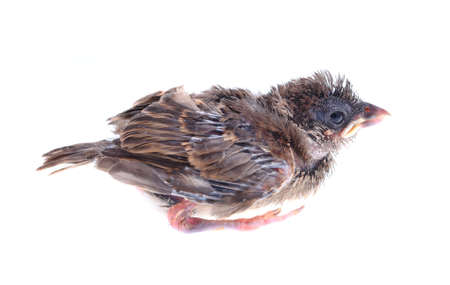 baby brood sparrow isolated white background.