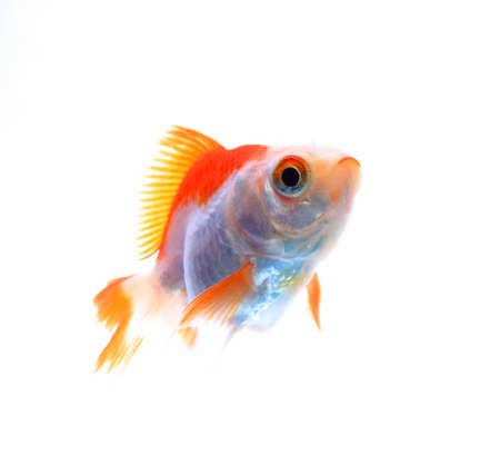 pez dorado: Oranda Goldfish aislado en blanco, estudio de alta calidad tiro elimina manualy de fondo por lo que el aletas es completa